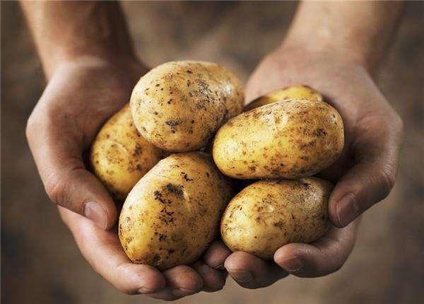 """""""土豆馒头""""正在走上我们的餐桌"""