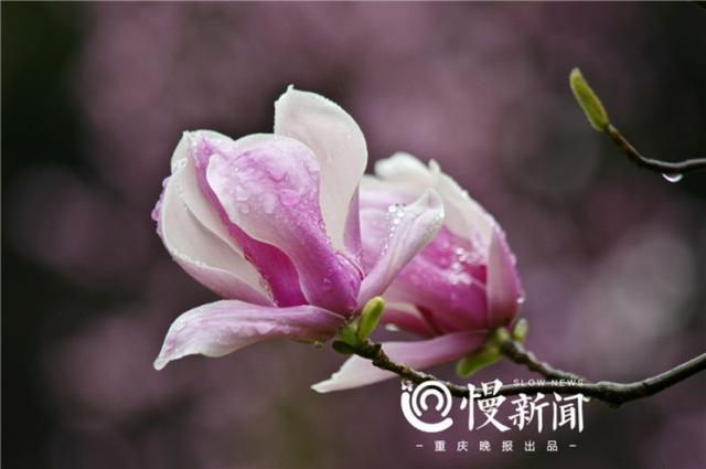 赏花好时节 重庆高校赏花攻略