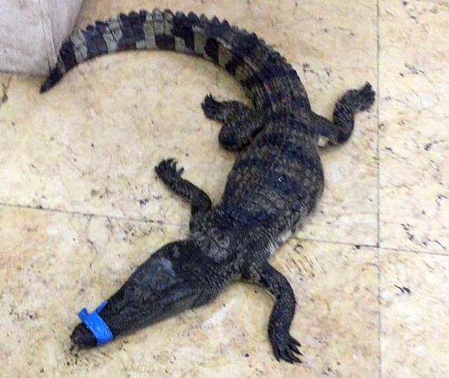 重庆一小区惊现一米长鳄鱼 市民报警求助