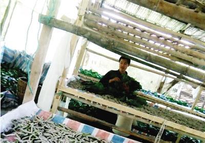 7月19日,大雨如注,黔江区石会镇高峰村的贫困户李文祥在蚕房里忙碌.图片