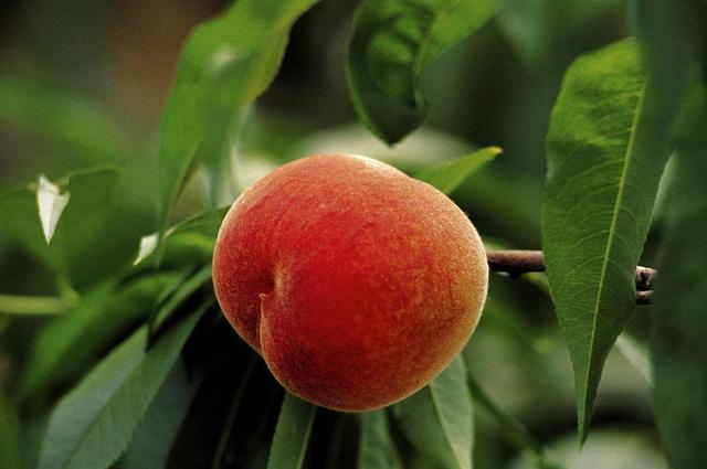桃子好吃须慎食
