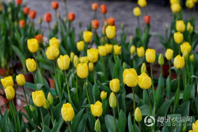 周末赏花踏青添去处 重庆园博园10万株郁金香绽放