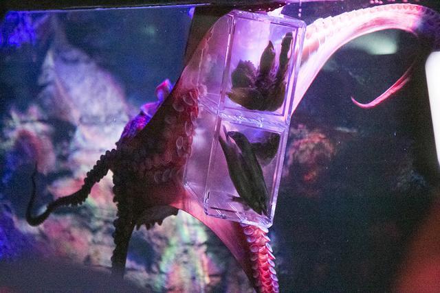 重庆首只太平洋火锅生日章鱼派对盛大举行荆沙巨型乌龟图片