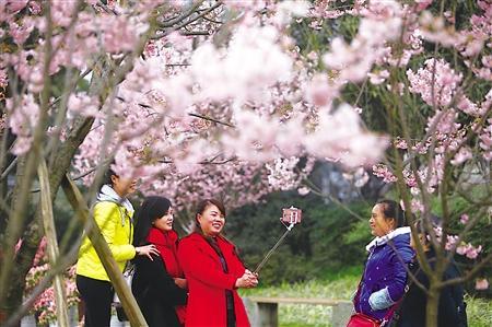 周末主城最高20℃ 快去南山赏樱花