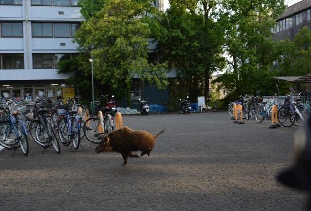 京都大学野猪横行撞伤路人 大学生与狩猎会协同围猎