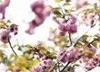 重庆主城赏樱花地图来了  错过等一年