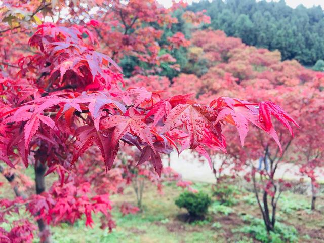 五洲园今日开园 千亩红枫已满眼 国庆活动丰富