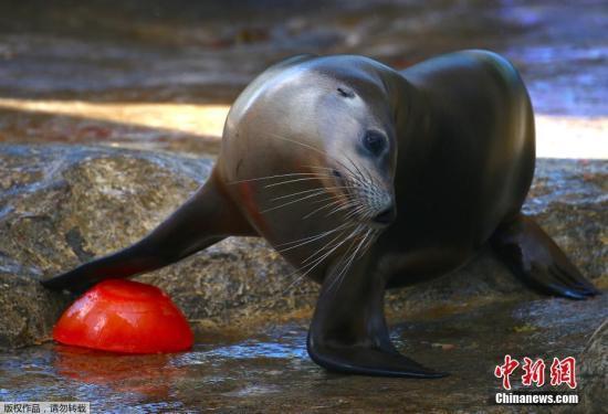 一头海狮看到了为自己准备的圣诞大餐,正将这顿丰盛的美食推入水中。