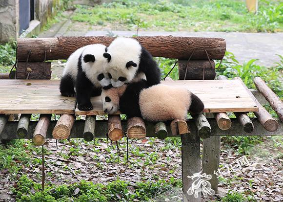 三只可爱的大熊猫幼崽. 记者 刘嵩 摄