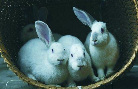 一胎10只兔 6只单耳2只没耳 1只少腿1只正常