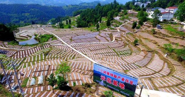 """—广告精准扶贫""""摄制组在重庆石柱县拍摄的辣椒公益广告,从6月23图片"""