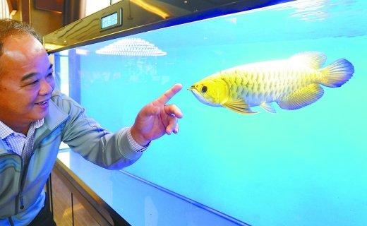 1桶金龙鱼几十块 而这3条金龙鱼值百万