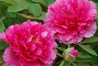 十二届垫江牡丹文化节定于3月26日开幕