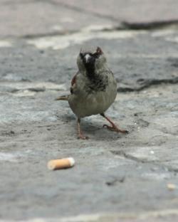 聪明!墨西哥鸟儿会叼烟头回巢 因尼古丁能驱虫