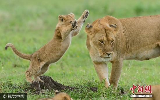 摄影师在坦桑尼亚塞伦盖蒂平原拍摄到了一组幼狮与成年母狮子玩耍的照片并于近日公开发布。