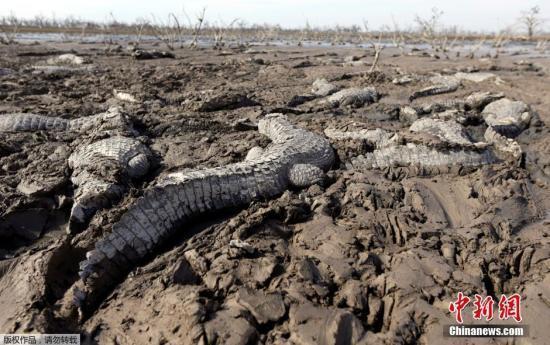 当地时间7月4日,巴拉圭皮科马约河河水枯竭,鳄鱼为生存扎进还没有被完全晒干的泥土里。