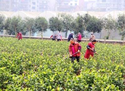 垫江民主村花卉基地 带动百余村民就近增收