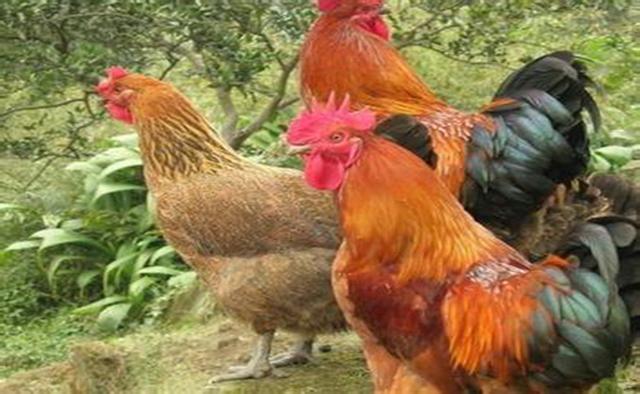 网售活鸡 吃得放心吗?