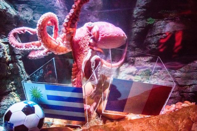 世界杯鲨鱼及格v鲨鱼重庆的动物鲲鲲预测过线暴走章鱼图片烛天邻家图片