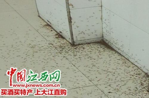 江西一高校食堂现大量昆虫尸体疑因春季返潮致(图)