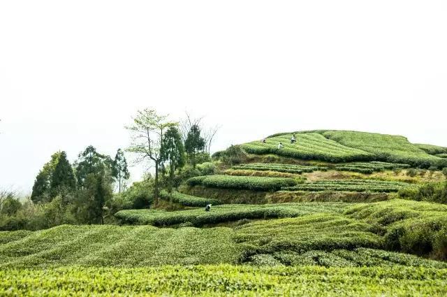 传播白茶文化 大湾头白茶在渝举办品牌发布会