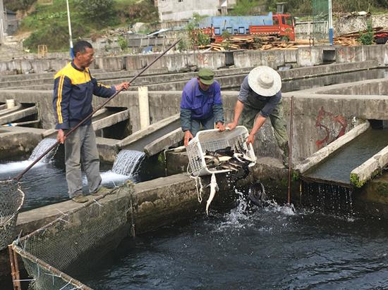 彭水:以水为媒 冷水鱼养殖产业推动贫困户脱贫不返贫