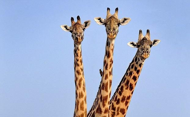 """摄影师赞比亚公园拍到""""三头""""长颈鹿"""