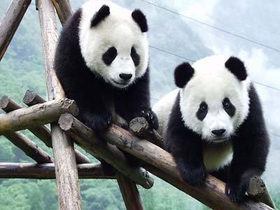 您是否了解我们可爱的大熊猫?