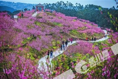 气温回暖春光好 永川桃花朵朵开