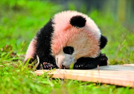 重庆动物园熊猫馆:熊猫宝宝晒太阳萌翻游客