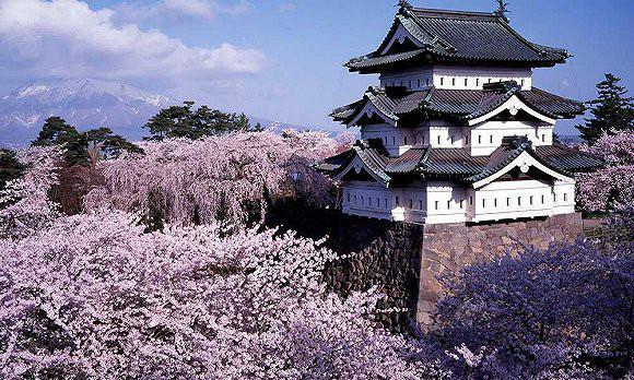 日本青森:一条20公里长的樱花大道(组图)