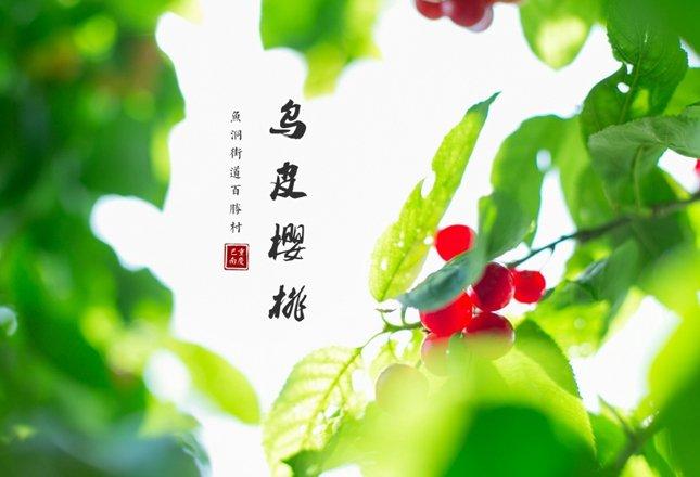 周边游:人间四月天 最美樱桃红――巴南百胜摘樱桃