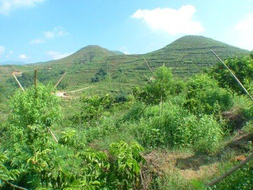 香港檀香山控股打造全国最大檀香种植基地