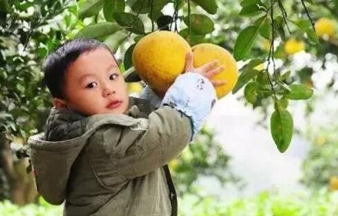 重庆周边8处采柚子柑橘秋游地