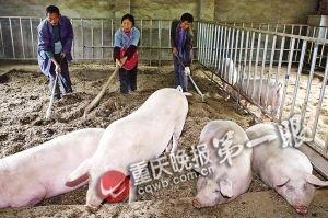 60元一公斤 人参添加剂喂出天价猪