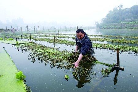 水里养鱼水上种菜 生态养殖美环境富村民