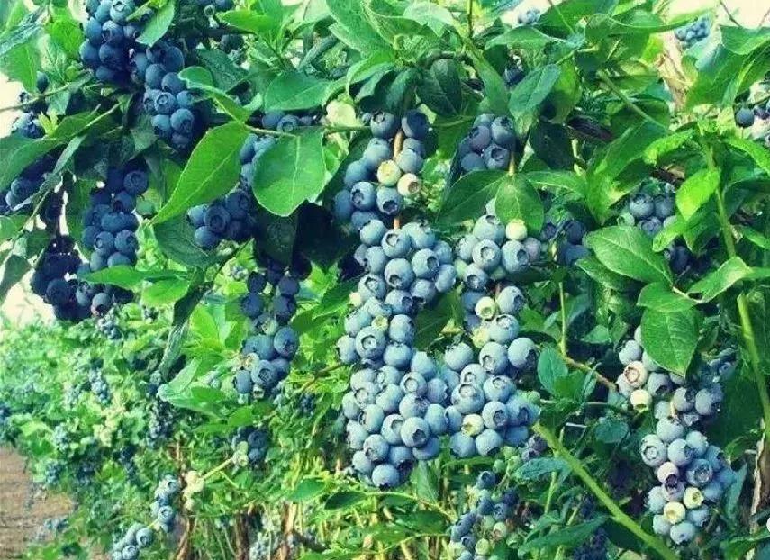 重庆蓝莓9大采摘地任性吃到饱