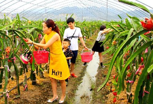 重庆铜梁:石鱼镇有机火龙果成熟 吸引市民采摘