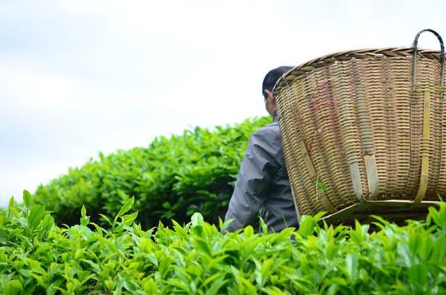 春茶含过量农药?专家:受病虫害影响小基本不用药