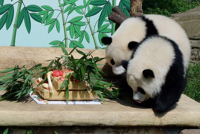 """大熊猫 生日蛋糕 重庆/此前,大渝网报道过重庆动物园大熊猫""""兰香""""于2016年7月11日..."""