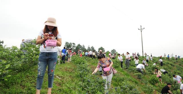 6月6日,巴南大来山的蓝莓熟了!