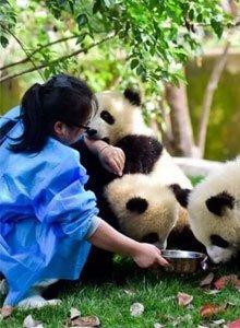 招募小小熊猫饲养员