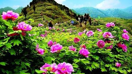 垫江牡丹节_截至今年,垫江牡丹文化节已连续举办15届,前来观光大发彩票登录网站的