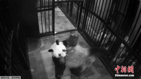 旅日大熊猫真真产后紧张缓解 怀抱宝宝姿势更熟练