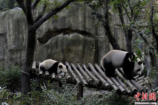 """成都大熊猫""""奇珍""""产仔 第六次做妈妈经验十足"""
