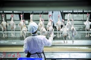 生鲜鸡出炉记 广州拟设9家家禽屠宰厂