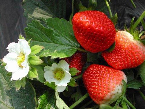 草红莓绿春天 初春重庆草莓采摘地推荐