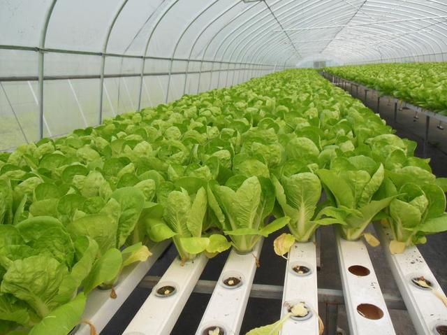 """新开发10多种水培叶菜 阳台上就能""""种"""""""