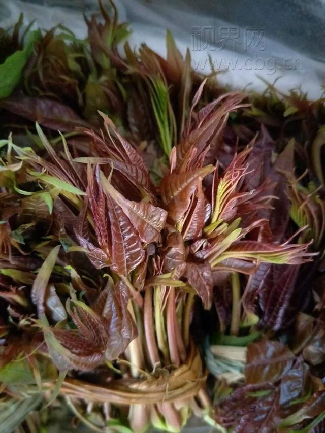 重庆香椿芽成最贵的菜 每斤70元比猪肉贵5倍