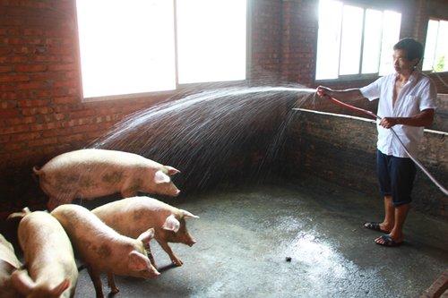 动物 猪 500_333